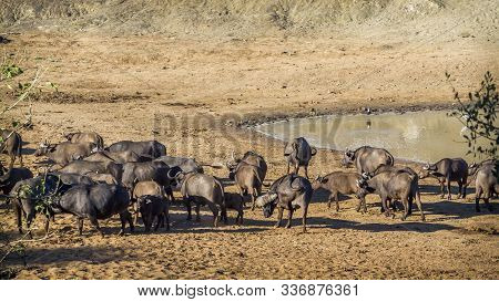 Herd Of African Buffalo In Waterhole Of Kruger National Park, South Africa ; Specie Syncerus Caffer