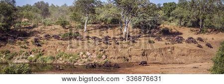 African Buffalo Herd Panoramic View In Kruger National Park, South Africa ; Specie Syncerus Caffer F