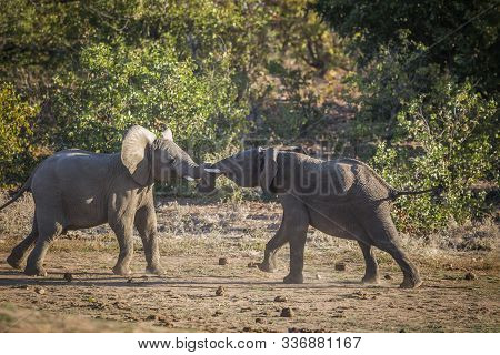 Two Young African Bush Elephants Playing In Duel In Kruger National Park, South Africa ; Specie Loxo
