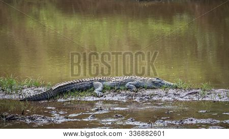 Nile Crocodile Sleeping In Middle Of A River In Kruger National Park, South Africa ; Specie Crocodyl