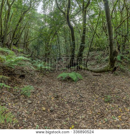 Relict Forest On The Slopes Of The Mountain Range Of The Garajonay National Park. Giant Laurels And