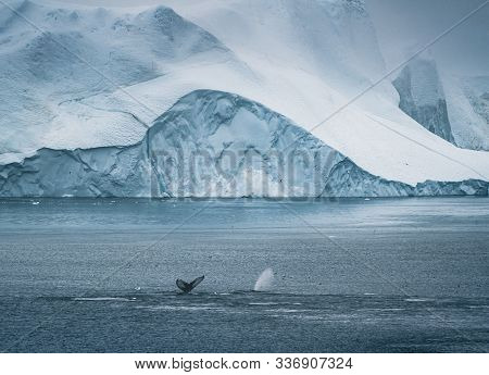 3 Humpback Whale Dive Near Ilulissat Among Icebergs. Their Source Is By The Jakobshavn Glacier. The