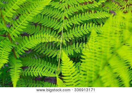 Green Fern Leaves On A Sunny Summer Day