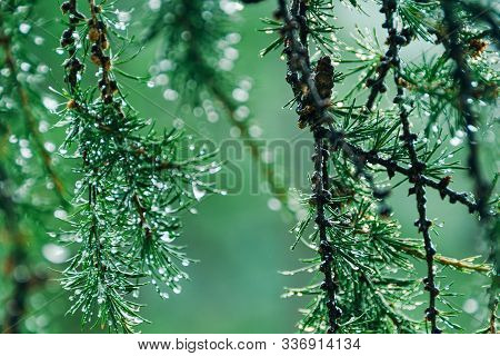 Drops On Green Needles Of Larch. Summer Rain In Coniferous Forest