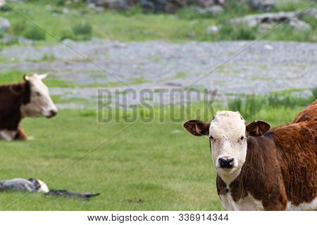 Young Red Bull On Green Meadow On Summer Day, Animal Husbandry For Meat, Animal Protection