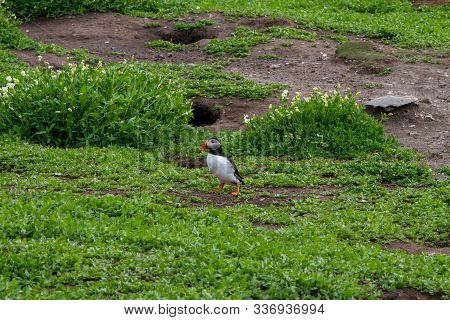 Colony Of Puffins, With Brightly Coloured Beaks,  Also Knows As Puffinry, A Circus, A Burrow, A Gath