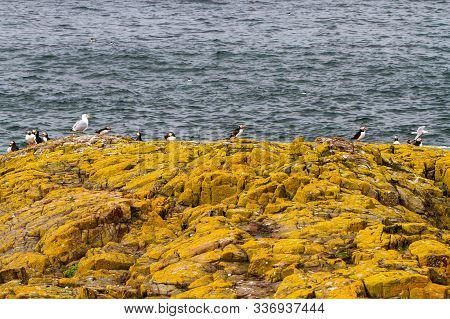 Razorbills, Cormorants, Puffins, Herring Gulls, Terns And Other Birds Protected In And Around Farne