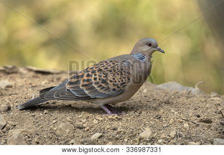 Oriental Turtle Dove, Streptopelia Orientalis At Sattal In India