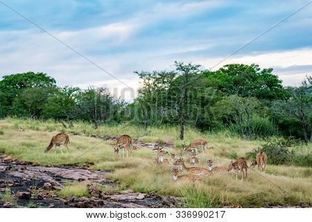 Wildlife Scenery Of Ranthambore Landscape With Spotted Deer Or Chital Herd, Dramatic Blue Sky With C