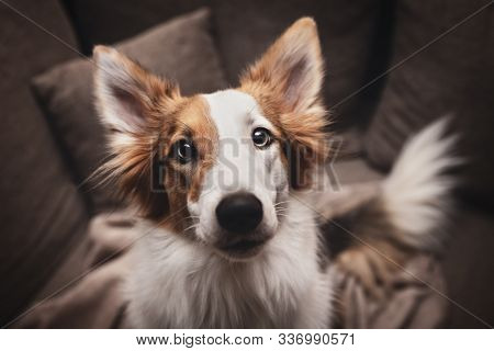 Cute Mixed Patchy Breed Dog Looking To The Camera, Pet Portrait At Home