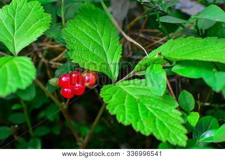 Red Stone Bramble In The Forest. Red Stone Bramble In The Woods Around Green Leaves. Stone Bramble.