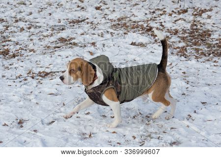 Cute English Beagle Puppy In The Pet Coat Is Walking In The Winter Park. Pet Animals.