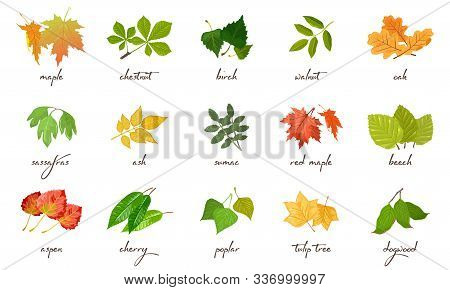 Big Vector Set With Yellow, Red, Green Leaves Of Different Trees And Shrubs Maple, Chestnut, Birch,