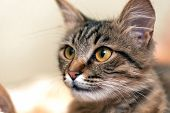 Cute tabby cat with yellow eyes and long whiskers. Close-up portrait of a beautiful cat poster