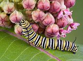 A monarch caterpillar is crawling on a flowering milkweed plant. poster