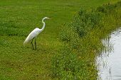 Beautiful white crane standing on pond shore in Florida poster