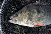 Head of large Perch caught in commercial fishing lake. poster