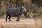 White rhino with attitude in Kruger National Park poster