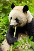Giant panda eating bamboo poster