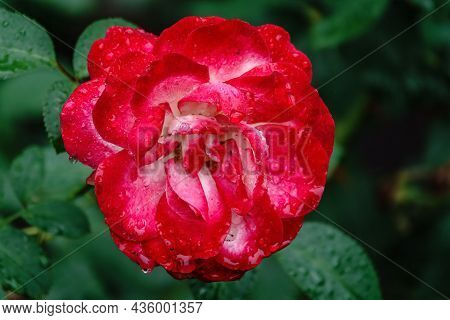 Red And White Bicolored Rose Flowers With Raindrops Close-up On A Green Blurred Background.