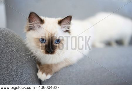 Lovely fluffy ragdoll cat with black nose lying on the grey sofa and looking with beautiful blue eyes. White furry purebred feline pet resting outdoors