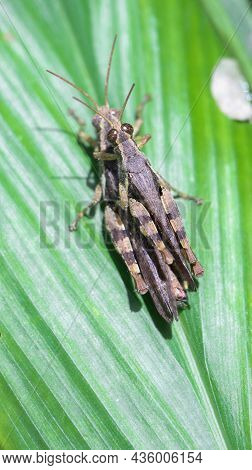 Vertical Shot Of Two Brown Grasshopper's Mating On A Green Leaf In The Garden Under The Bright Dayli