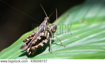 Horizontal Shot Of Two Brown Grasshopper's Mating In The Garden On A Large Green Leaf Under Bright D