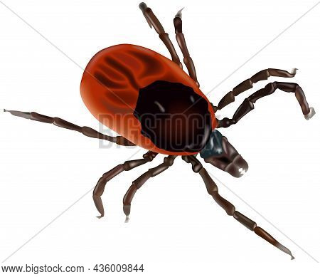 Greedy Tick (ixodes Ricinus) - Colored Illustration Isolated On White Background, Vector