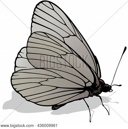 Black-veined White - Beautiful Butterfly Aporia Crataegi Isolated On White Background, Vector Illust