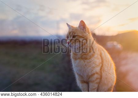 An Orange Cat Sits On A Fence At Sunset. A Red-haired Tabby Kitten Has Closed Its Eyes And Is Enjoyi