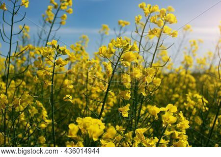 Blooming Canola Field Summer Time. Closeup View At Flovers