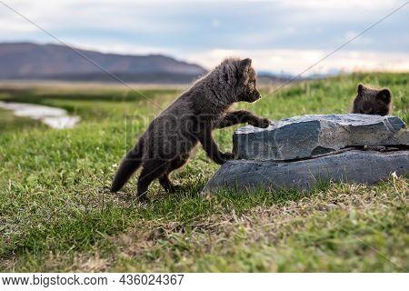 Two Beautiful Wild Animals. Arctic Fox Cub, Vulpes Lagopus, Cute Babies Playing In The Nature Habita