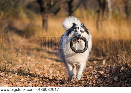 A Marbled Rough Collie Carries A Black Bouncing Rubber Ring Along A Road Of Autumn Leaves