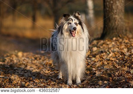 Portrait Of A Yellow Marbled Rough Collie In Autumn