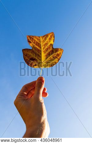 Closeup Of Person Hand Holding Beautiful Bright Autumn Orange Leaf Up Over Blue Sky Background. Fall