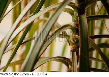 Texture Of Green Leaves And Trunk Of Dracaena With Copy Space. Growing House Tropical Plants. Natura