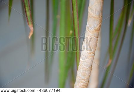 Texture Of Trunk And Green Leaves Of Dracaena With Copy Space. Growing House Tropical Plants. Natura