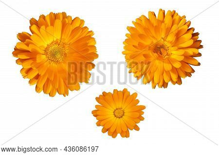 Marigold Flower Orange Isolate On White Background, Three Flowering Heads Of Calendula