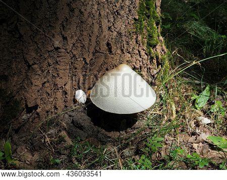 Silver Silk Straw Mushroom At The Tree Trunk. Silky Rosegill Or Volvariella Bombycina. Rare Mushroom
