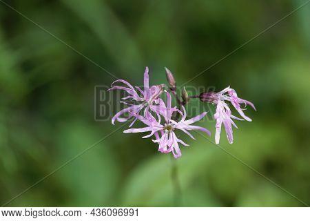 Flower Of A Ragged-robin, Silene Flos-cuculi