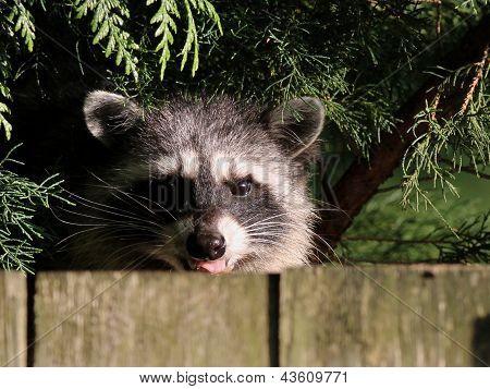 Raccoon Behind a Fence