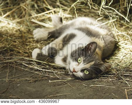 Cute Green Eyed Cat Lying In Hay. Curious Stray Animal Lives In Cowshed And Plays In Straw.