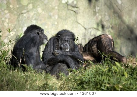 Chimpansee Family