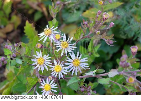 Perennial Asters (symphyotrichum Novi-belgii) Blooming In Early Fall, Selective Focus, Blurred Backg