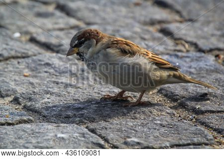 Close Up, A Study Of A Sparrow. Sparrows Are Songbirds.
