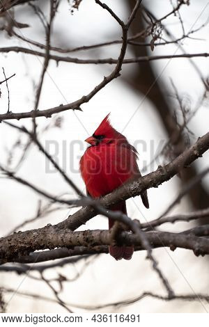 Beautiful Single Bright Red Male Northern Cardinal Looking To The Side Sitting Perched In A Small Tr