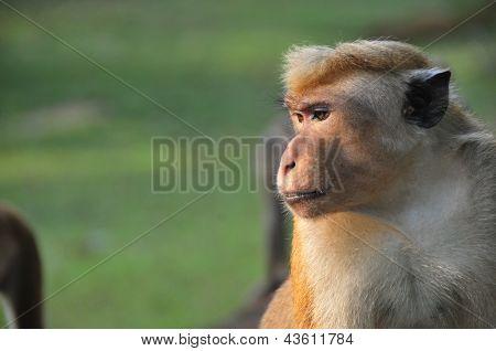 Wild toque macaque