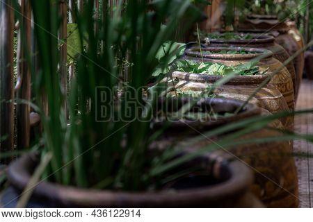 Water Lettuce Is On The Open Of Old Big Earthen Jars. The Water Lettuce Is In Pistia Genus Of Aquati