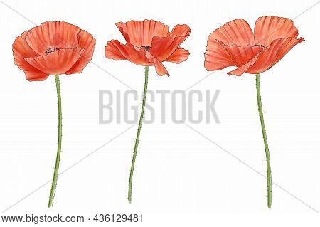 Drawing Red Poppy Flowers , Papaver Isolated Floral Elements At White Background, Hand Drawn Illustr