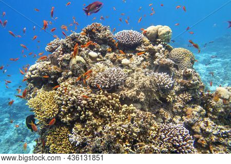 Colorful, Picturesque Coral Reef At The Bottom Of Tropical Sea, Hard Corals And Fishes Anthias, Unde